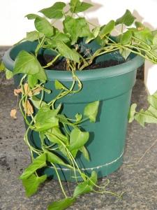 sweetp. vines